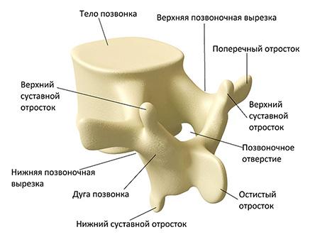 строение позвоночника