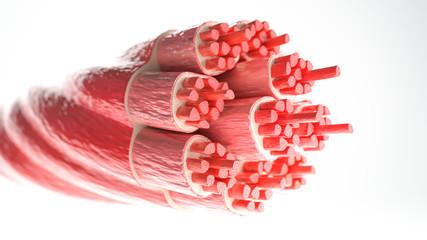 мышцы и фасции
