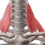 шея скелет и мышцы