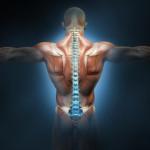 позвоночник мышцы